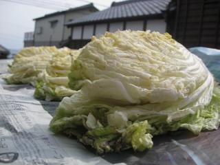 天日干し白菜