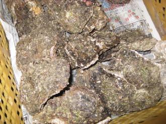 収穫した牡蠣