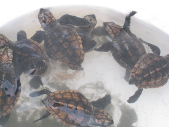 バケツの中で泳ぐ小亀達