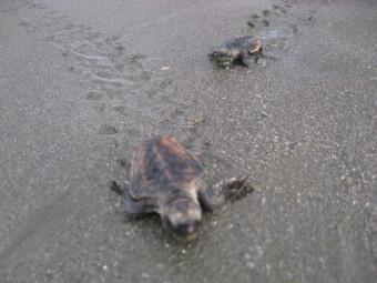 海へと歩き出す小亀たち
