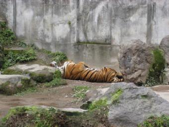お昼ね中のトラ