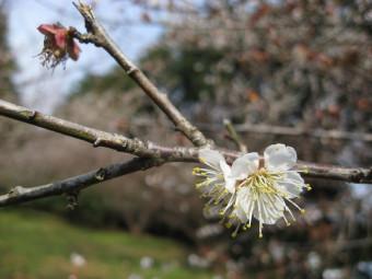 散りゆく梅の花・・・