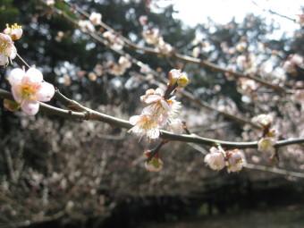 梅の花満開♪